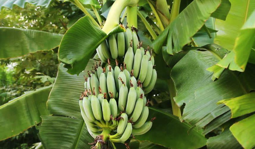 温网费德勒吃的香蕉,是自然成熟的?